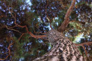 樹齢100年近い松の木が目印
