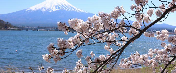 【近隣情報】河口湖の桜